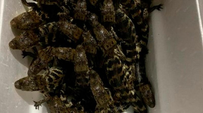 39 cocodrilos que eran transportados de manera hacinada en una hielera