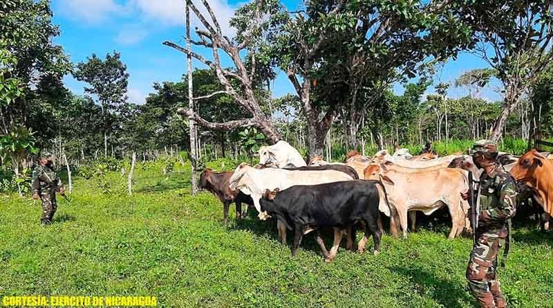 Ejército de Nicaragua logra recuperar 31 cabezas de ganado que habían sido robadas en El Tortuguero