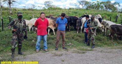 Semovientes recuperados y ciudadanos retenidos por el Ejército de Nicaragua