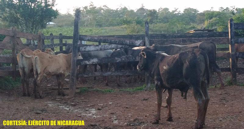 Semovientes recuperados por el Ejército de Nicaragua en Bluefields