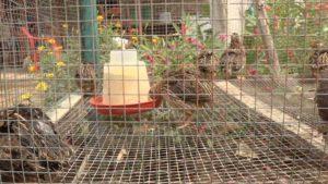 Jaula llena de las aves de la crianza de codorniz en Potosí, Rivas