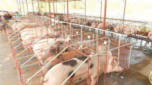 Cerdos en corral producidos por porcicultores a través del INTA