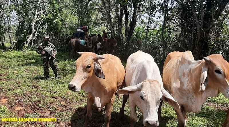 Ganado recuperado por el Ejército de Nicaragua en comunidades de Nueva Guinea