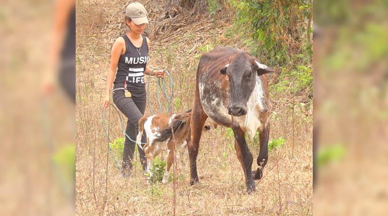 Una protagonista del programa de Inseminación Artificial paseando una vaca y su ternero en Jalapa, Nueva Segovia
