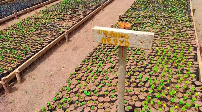 Plantas forestales en el vivero de Tecolostote, en el municipio de San Lorenzo, departamento de Boaco.