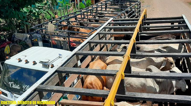 Semovientes en dos camiones retenidos por el Ejercito de Nicaragua en El Tortuguero, Región Autónoma de la Costa Caribe Sur.