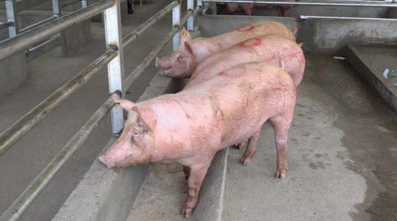Cerdos mejorados genéticamente por el INTA