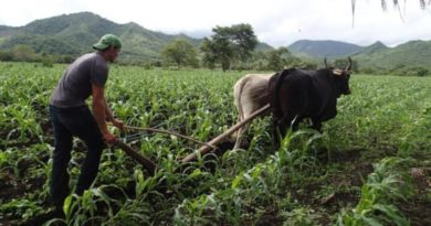 Campesino arando la tierra con ayuda de bueyes