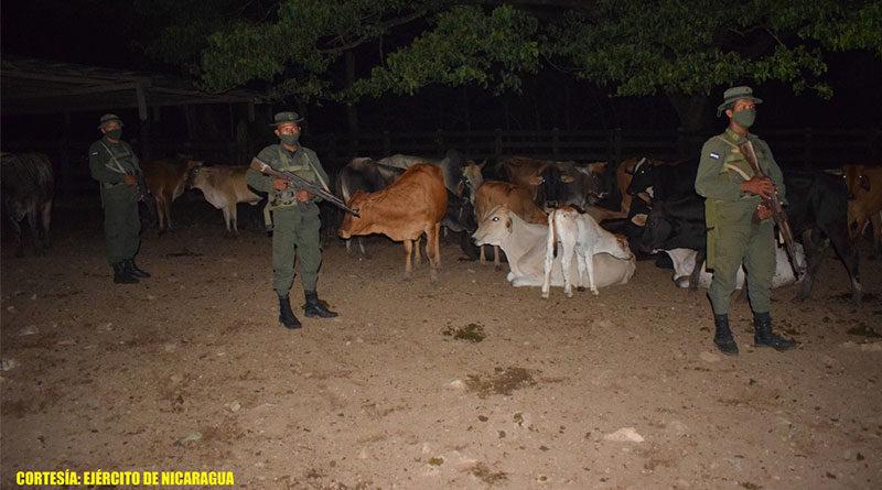 Efectivos del Ejército de Nicaragua custodiando semovientes recuperados que habían sido robados en Mulukukú