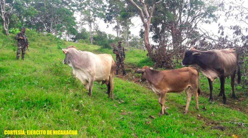 Miembros del Ejército de Nicaragua durante el operativo realizado donde se recuperaron 33 cabezas de ganado