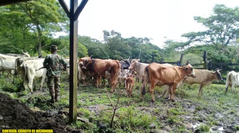 Semovientes recuperados por el Ejército de Nicaragua