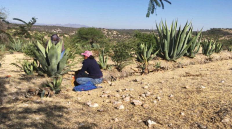Un pequeño agricultor en México rando tierras semiáridas.