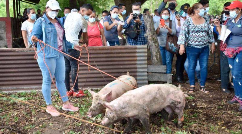 Productoras de municipios de León reciben cerdas inseminadas por parte del Sistema de Producción, Consumo y Comercio