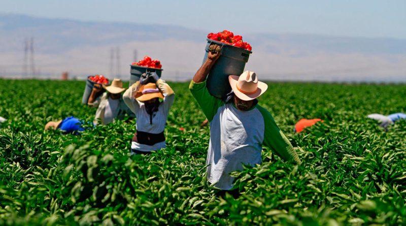 Productores de chiltoma recolectando el fruto en los campos
