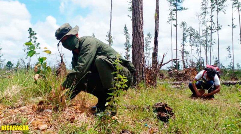 Miembro del Ejército de Nicaragua durante la jornada de reforestación realizada en la Reserva Natural Alamikamba.